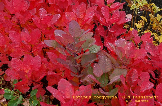 Cotinus Coggygria Old Fashioned