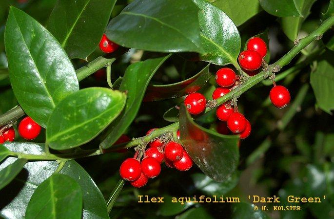 ilex aquifolium 39 dark green 39. Black Bedroom Furniture Sets. Home Design Ideas